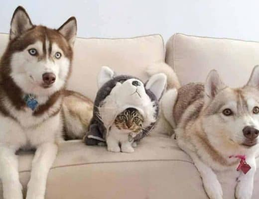 Huskies with kitten wearing a husky costume.
