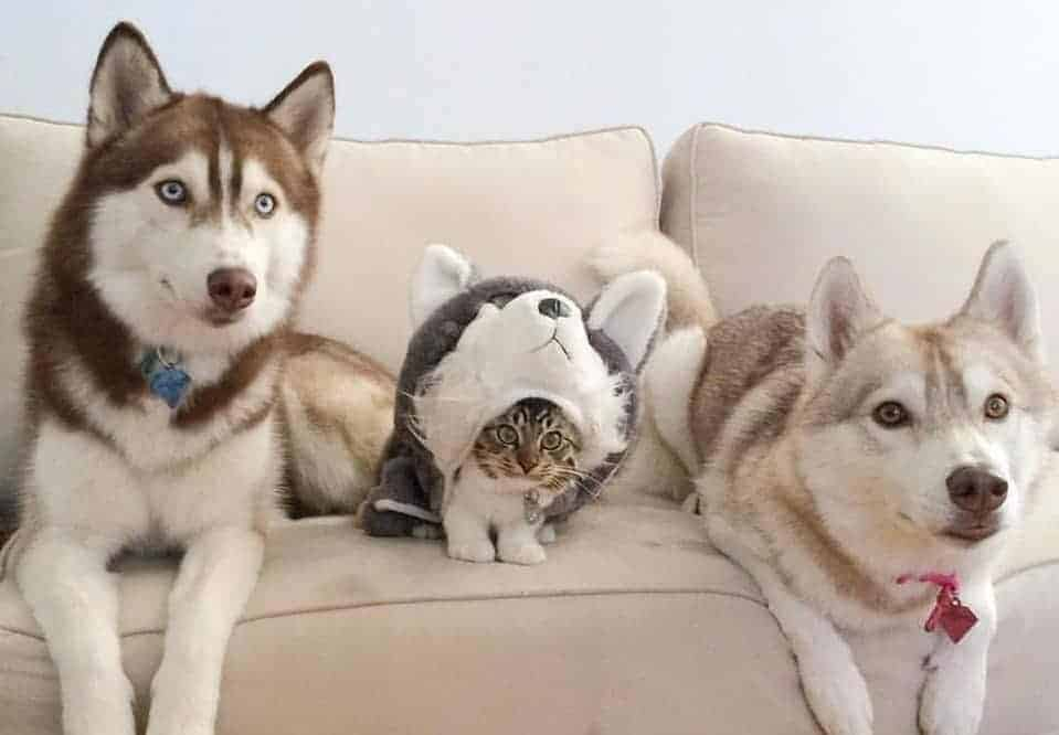 Huskies with kitten wearing a husky costume.