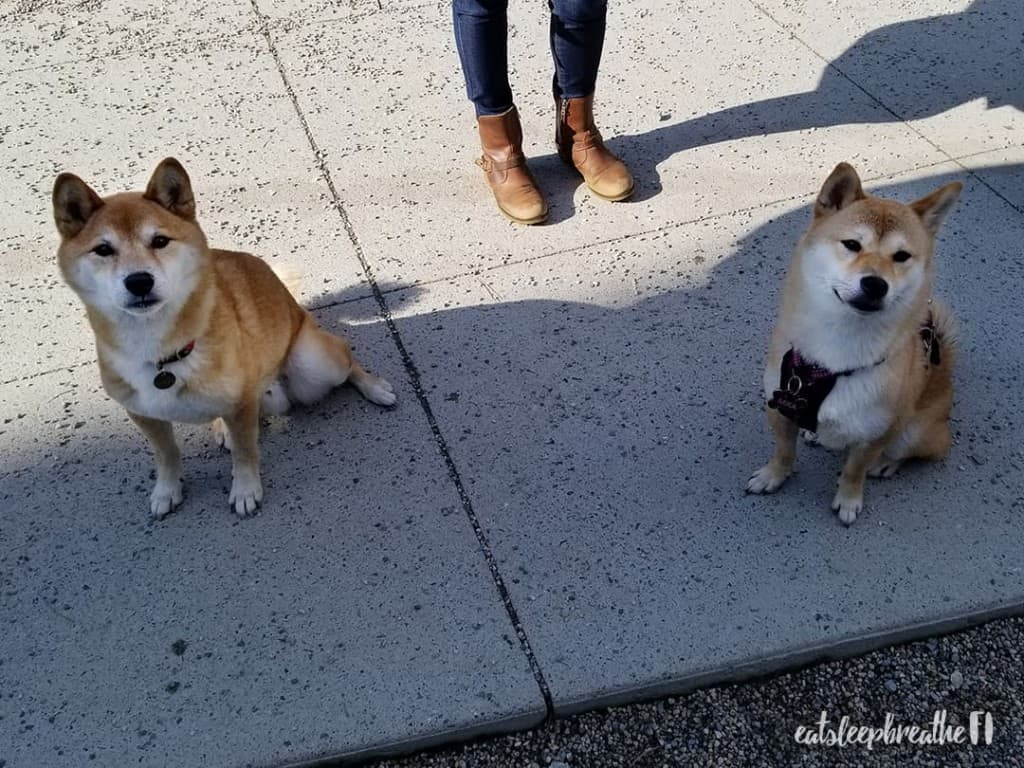 Kuma and Mika the Shiba Inus