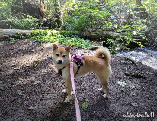 Mika the Shiba Inu in the forest