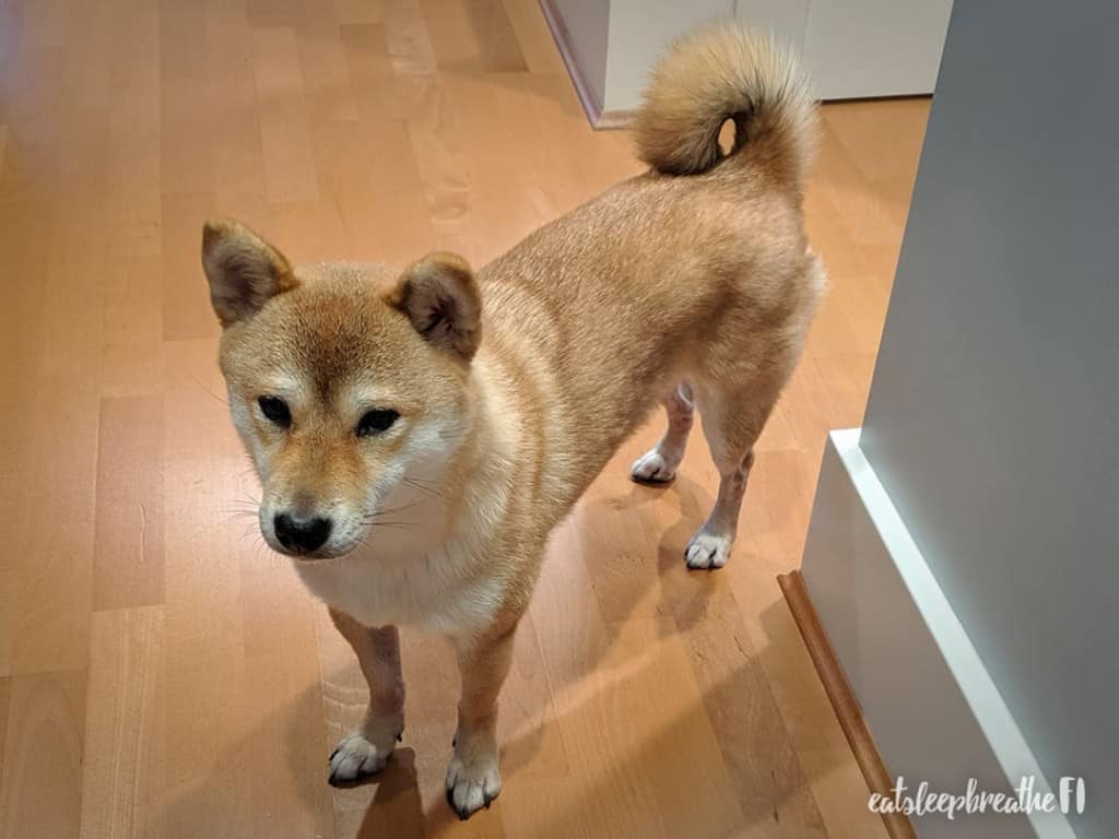 Mika the Shiba Inu waiting
